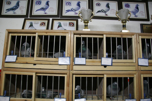 Pigeon Buying Guide Part 3