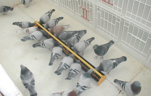 Pigeon Feeding – Feeding to Win