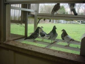 Young Pigeons, Settling Your Youngsters