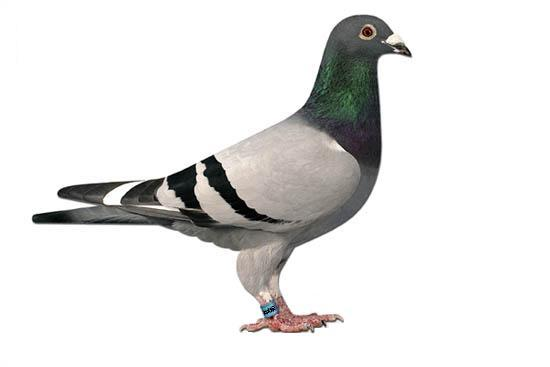 Recognition Of Physical Attributes of Racing Pigeons