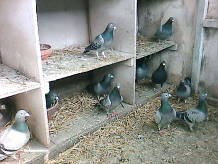 Buying Pigeons? Do Your Homework (part 2)