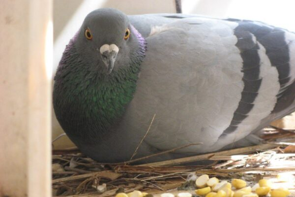 Tricks for Pigeon Foster Parenting