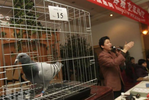 Helpful tips for Pigeon Auctions (part 3 of 3)