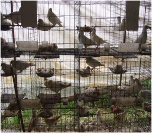 Understanding Pigeon Breeding and Genetics