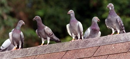 The Magic Formula for Pigeon Racing Success!…