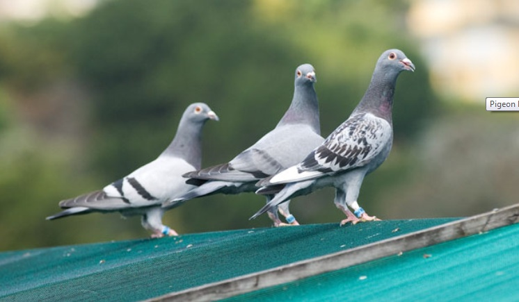 Pigeon Racing Systems; The Pros and Cons of Each