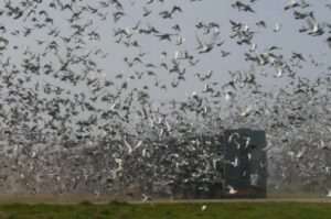Pigeon Racing | After the Race is over