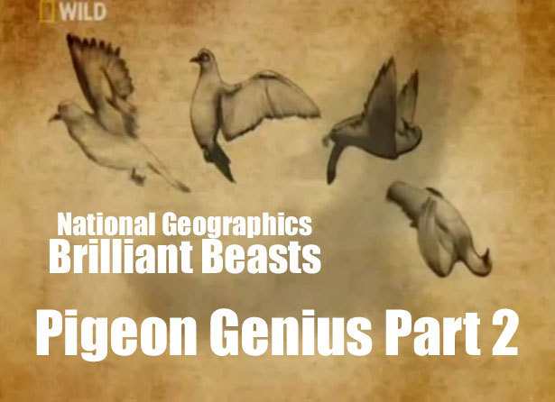 Brilliant Beasts: Pigeon Genius Part 2/4