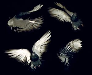 Pigeons are more living helicopters than flying rats…