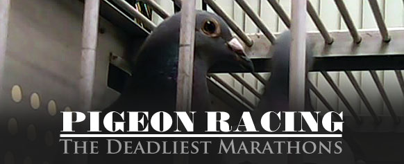 PETA at it Again – Investigation Exposes Pigeon-Racing Cruelty