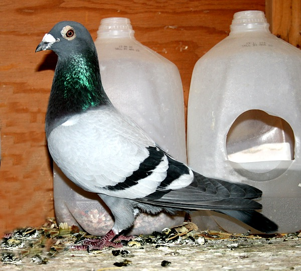Things to Avoid When Medicating Your Racing Pigeons