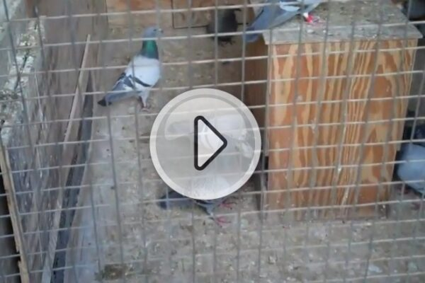 *Video* Weaning Baby Racing Pigeons