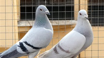 Breeding Racing Pigeons: Methods of selecting breeders