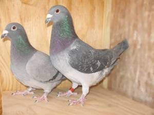 "Creating ""Sports"" When Breeding Racing Pigeons"
