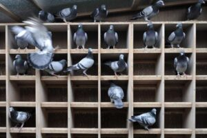 Intensive pigeon racing Inbreeding A Practical Discussion