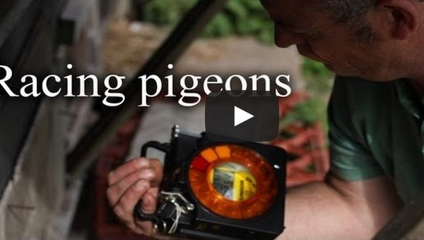 Racing Pigeons – A Short Documentary