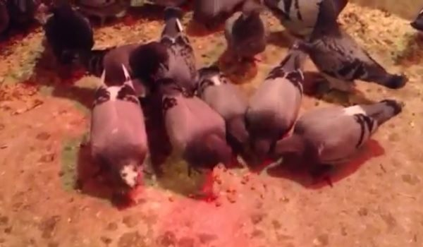 *Video* Teaching Young Racing Pigeons How To Eat