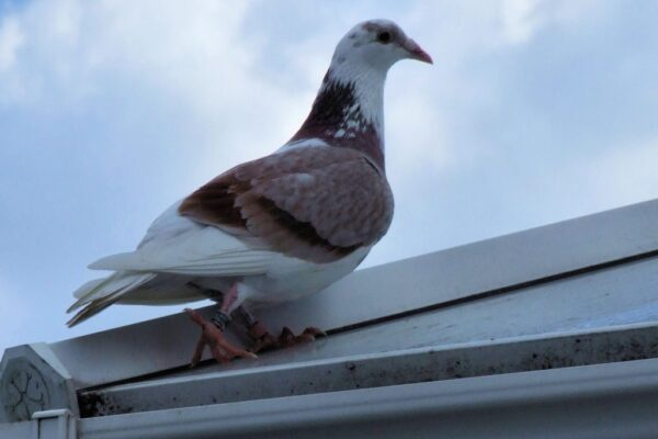 Pigeon Racing; What Make's a Champion?