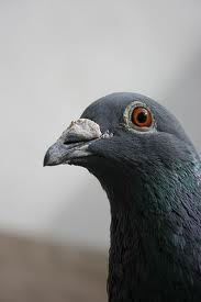 What's Killing Pigeon Racing?