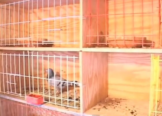Pigeon Racing and The Importance of Nest Boxes