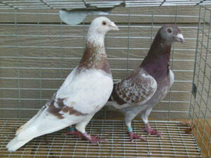training racing pigeons the right way