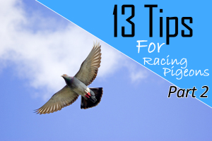 Tips for racing pigeons