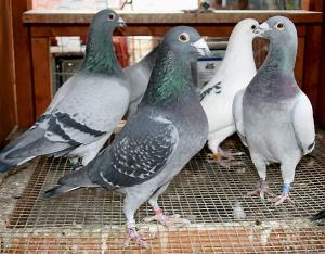 How to Pair Racing Pigeons for Breeding, Simple Guidelines to Follow.